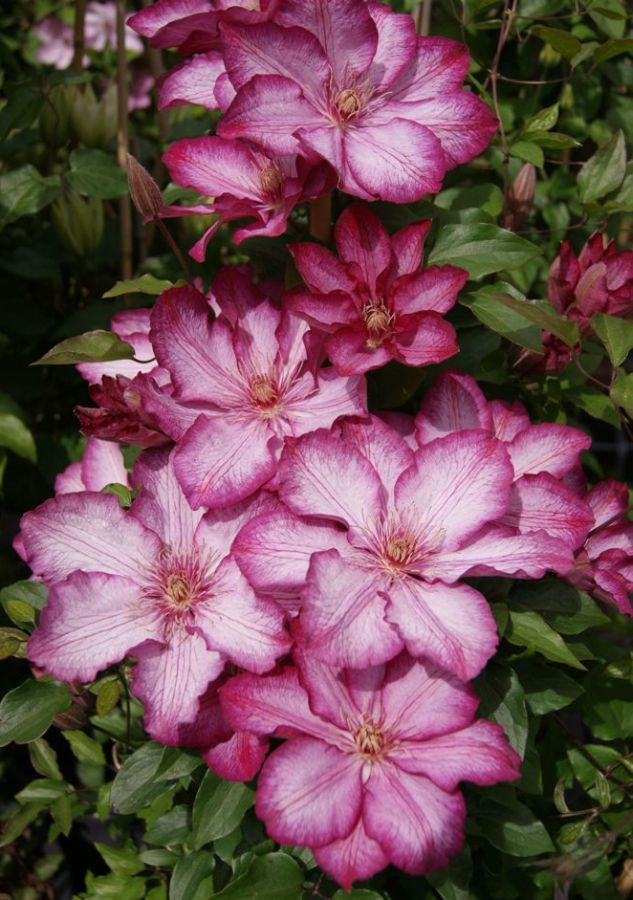 clematis liberty new for 2016
