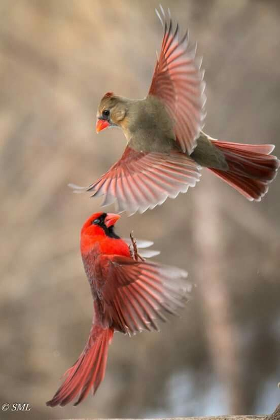 Kissing Cardinals  Beautiful Birds  Birds, Wild Birds -8766