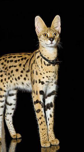 Serval Zicki on black by Tambako the Jaguar on Flickr.