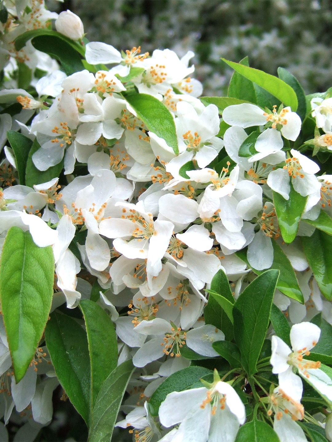 13 Of The Most Colorful Crabapple Trees For Your Yard Crabapple Tree Fruit Trees In Containers Crab Apple