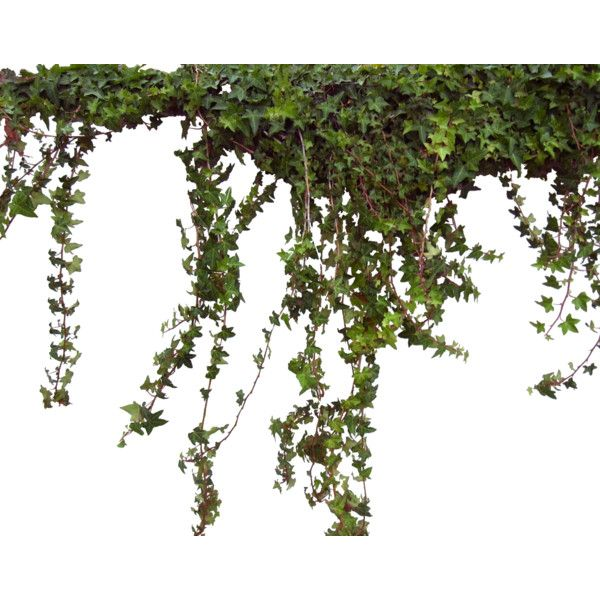Ivy Liked On Polyvore Featuring Flowers Plants Nature Backgrounds Tubes Fillers And Scenery Plants Photoshop Flowers Amazing Gardens