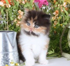 Calico Persian Kittens For Sale Dollface Persian Kittens For Sale Persian Kittens Persian Kittens For Sale Cute Puppies And Kittens