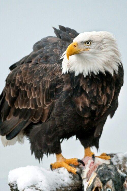 Bald Eagle Bald Eagles Our National Symbol Pinterest Bald