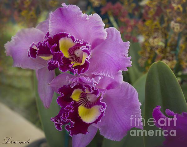 Orchids Loriannah-Hespe.artistwebsites.com