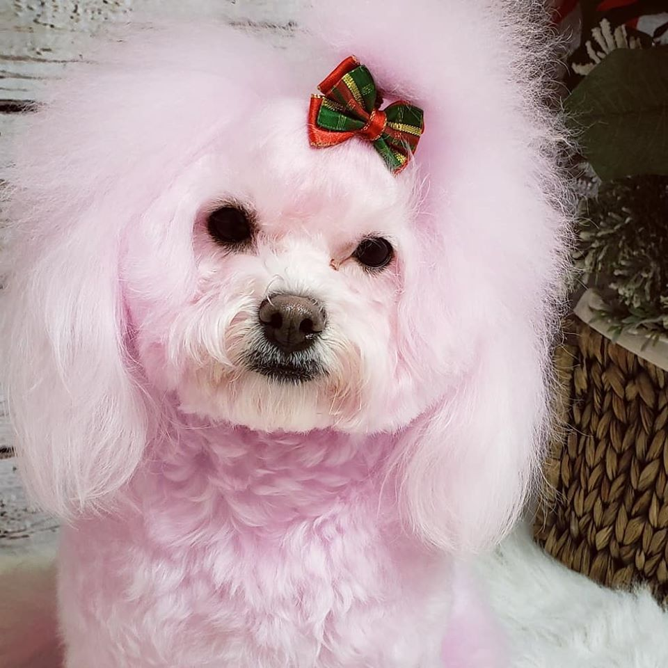Penelope had this adorable color work at Kayla's Posh Pets
