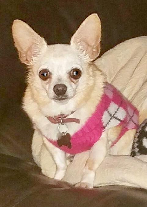 Gayweho Dogs 4 U On Dog Adoption Dogs Chihuahua Dogs