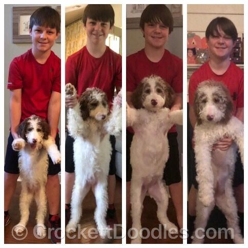 From Crockett Doodles | Doodle puppy, Puppy growth chart ...
