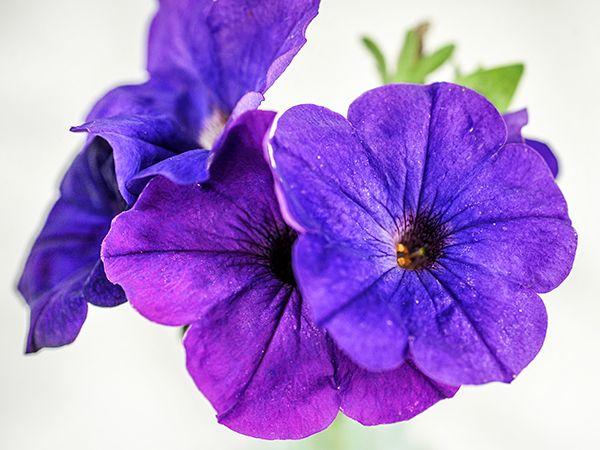 Alderman Petunia Petunia Flower Flower Seeds Petunias