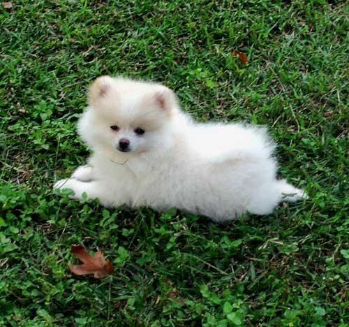 white toy pomerians - Bing Images