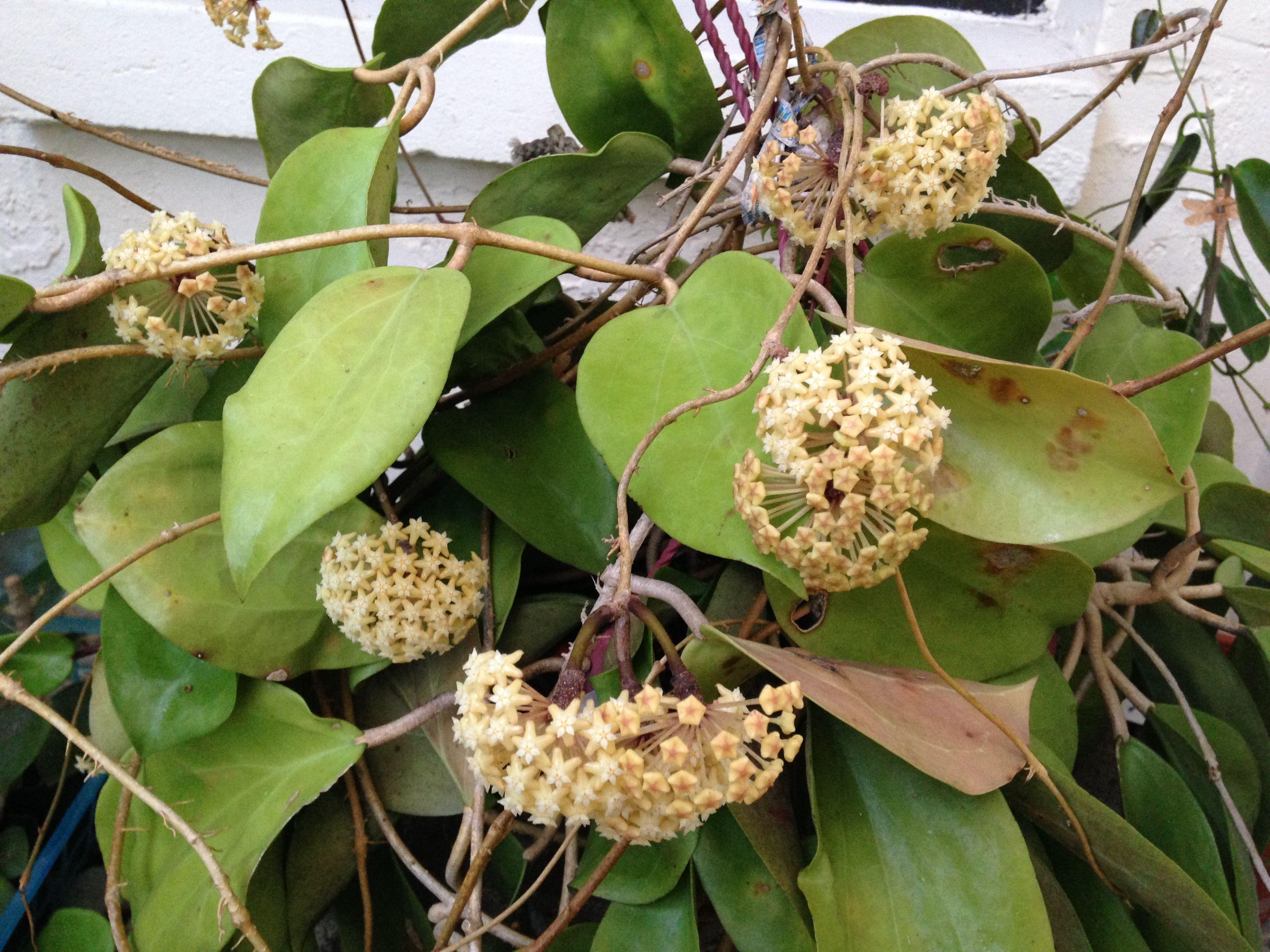 Hoya surriagansis