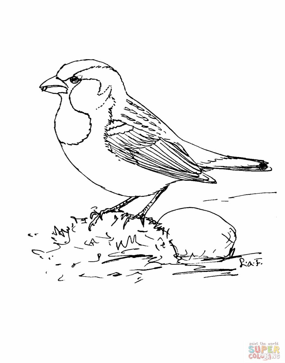 House Sparrow Coloring Page Coloring Pages Bird Drawings