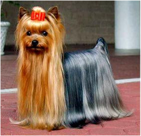 Showdog Yorkie In Its Fully Grown Crowning Glory I Like Its Blue