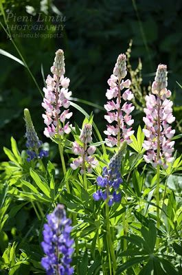 Pieni Lintu: Tuesday around the World - {Lovely lupines}