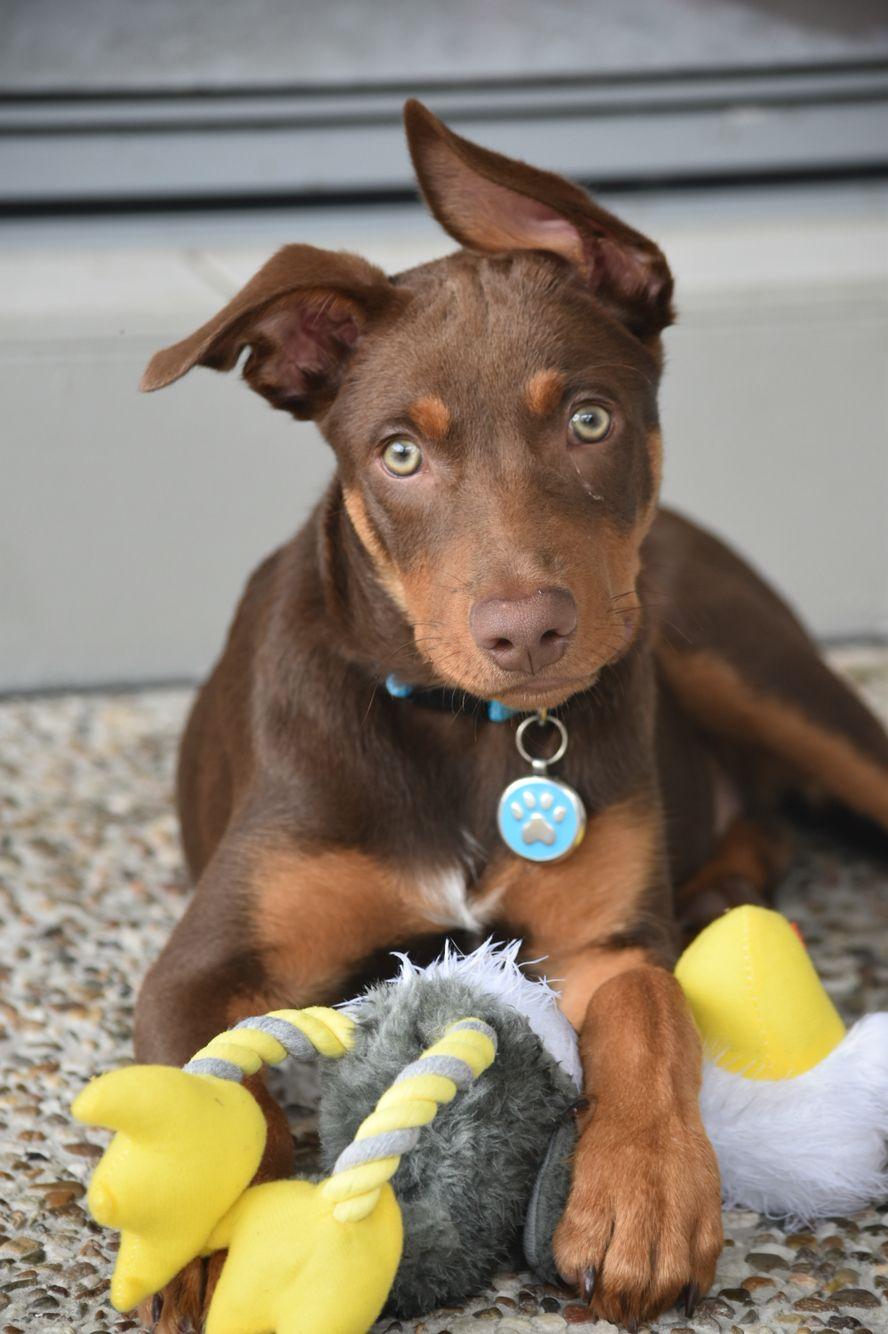 Kelpie Pup Australian Dog Breeds Australian Kelpie Puppies