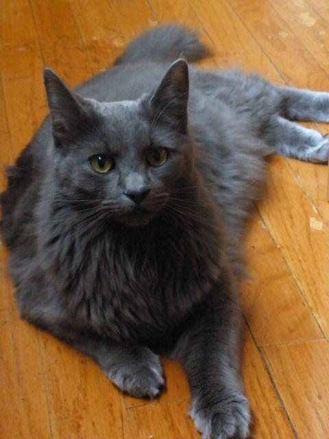 Gatosmiau.com   El gato Ragdoll