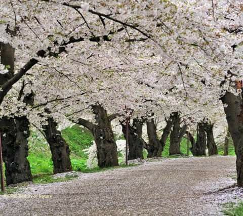 Pin By Crystal Bong On Nature Tree Road Wallpaper Cherry Blossom Tree Nature Wallpaper
