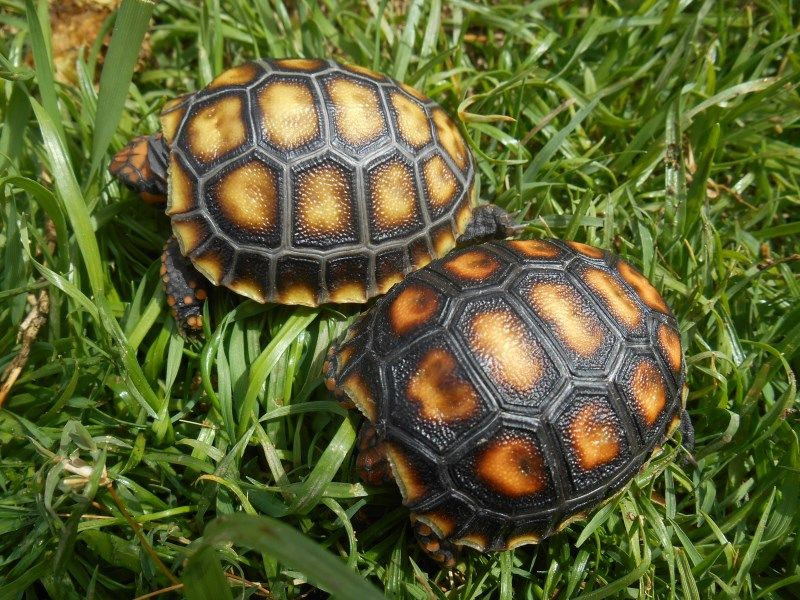 2016 Cherryhead Tortoise Hatchlings 160 (With images