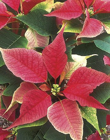 care instructions for poinsettia plants