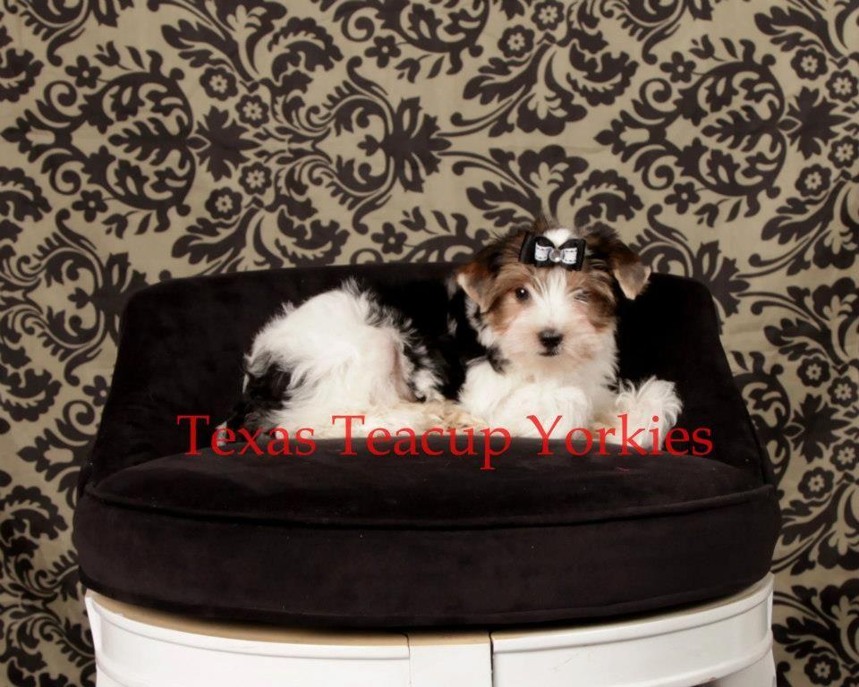 Teacup yorkies for sale in texas