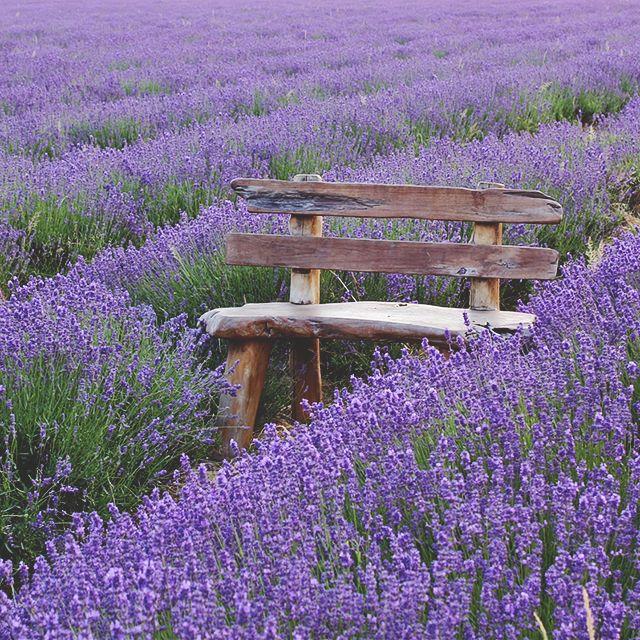 A Bench For Purple Dreams Lavender Fields Lavender Garden Lovely Lavender