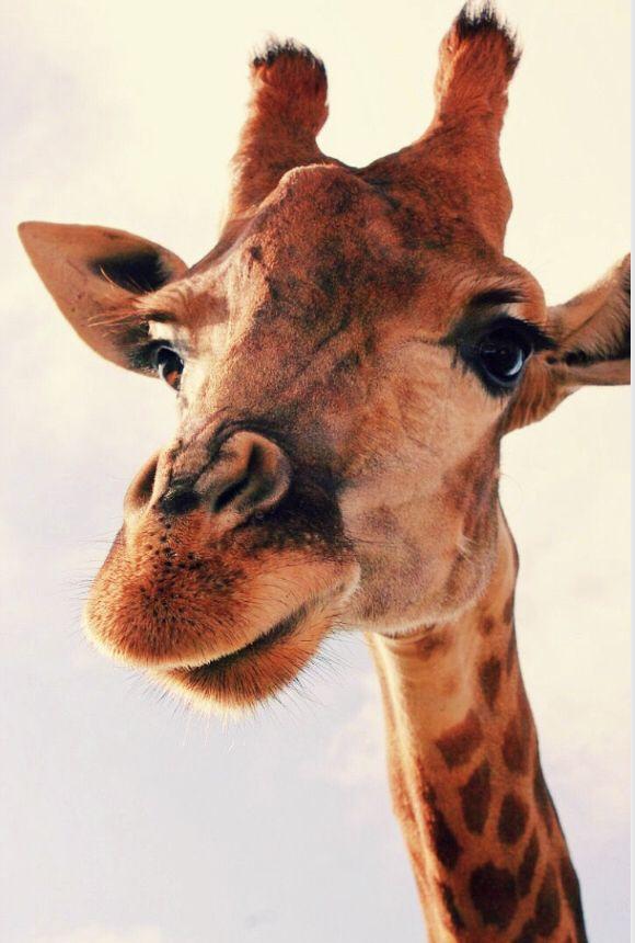 giraffe hi aesthetic vsco animals animals