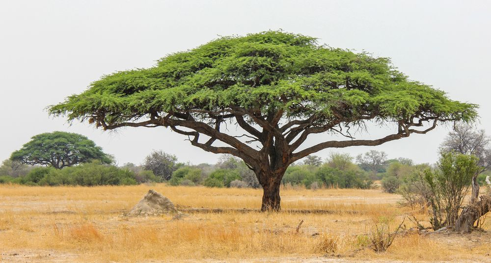 10 Things You Didn't Know About African Acacia Trees