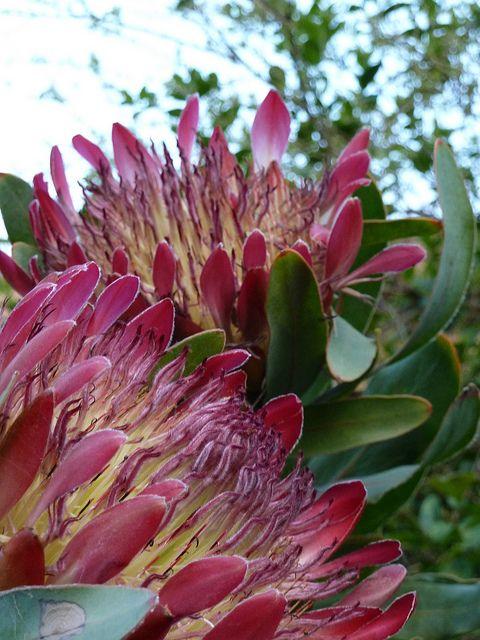 Proteas Protea Flower Australian Flowers Australian Plants
