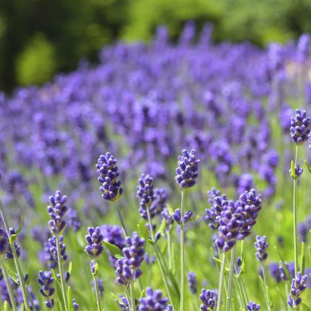 How To Grow And Maintain Lavender Growing Lavender Organic