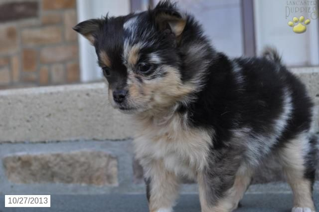 Mandy Pomchi Puppy For Sale In Morgantown Pa Pomchi Puppy