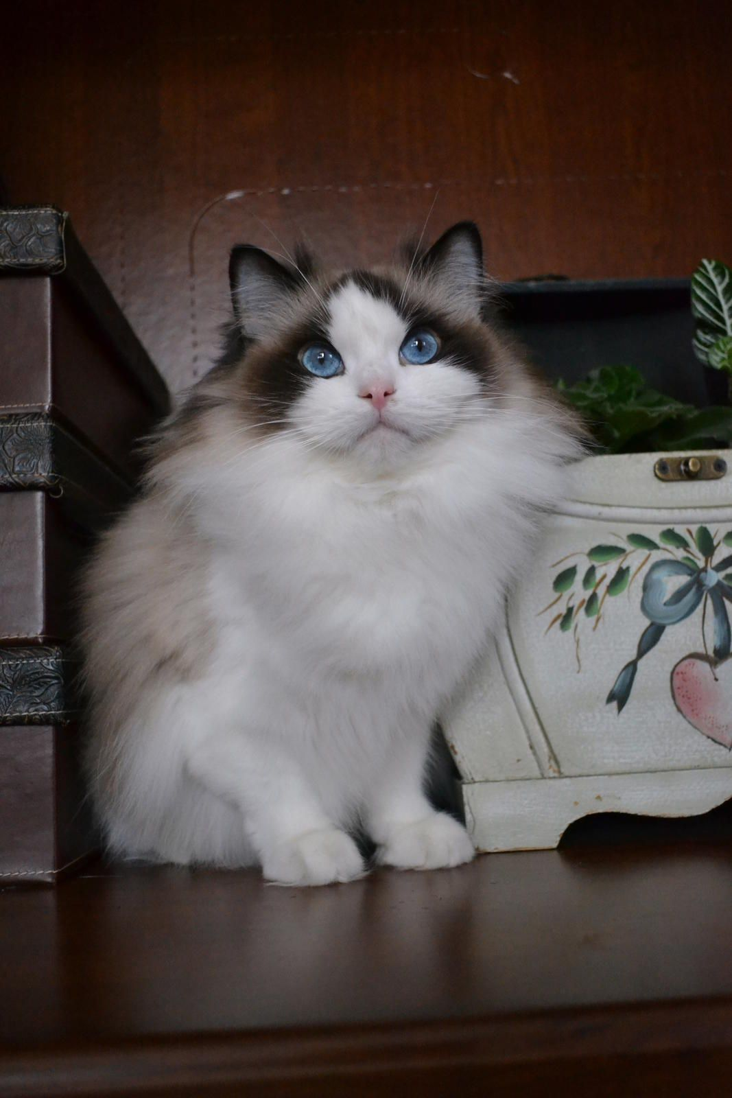 Go To Cuteftw Com 3 3 3 For Cute Apparel And Accessories Free Shipping Worldwide Cute Cats And Kittens Ragdoll Kitten Ragdoll Cat