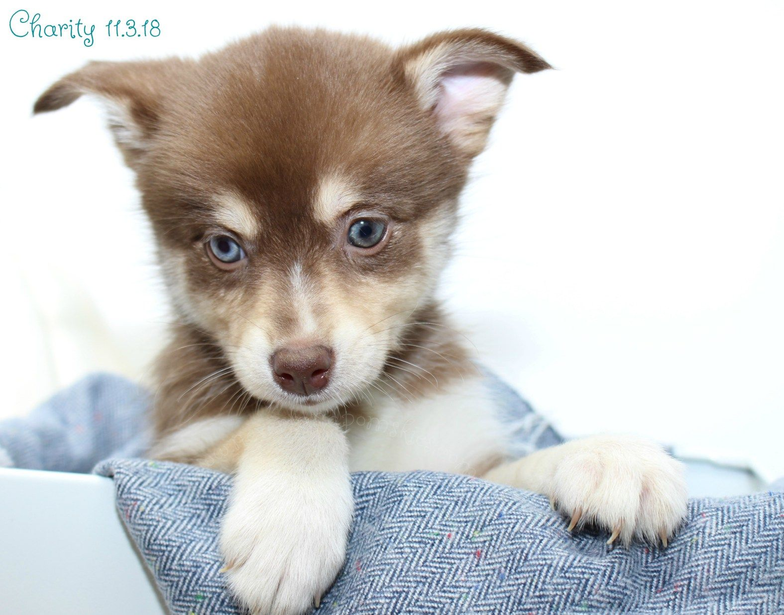 Puppies Are Here Puppies Pomsky Doggy