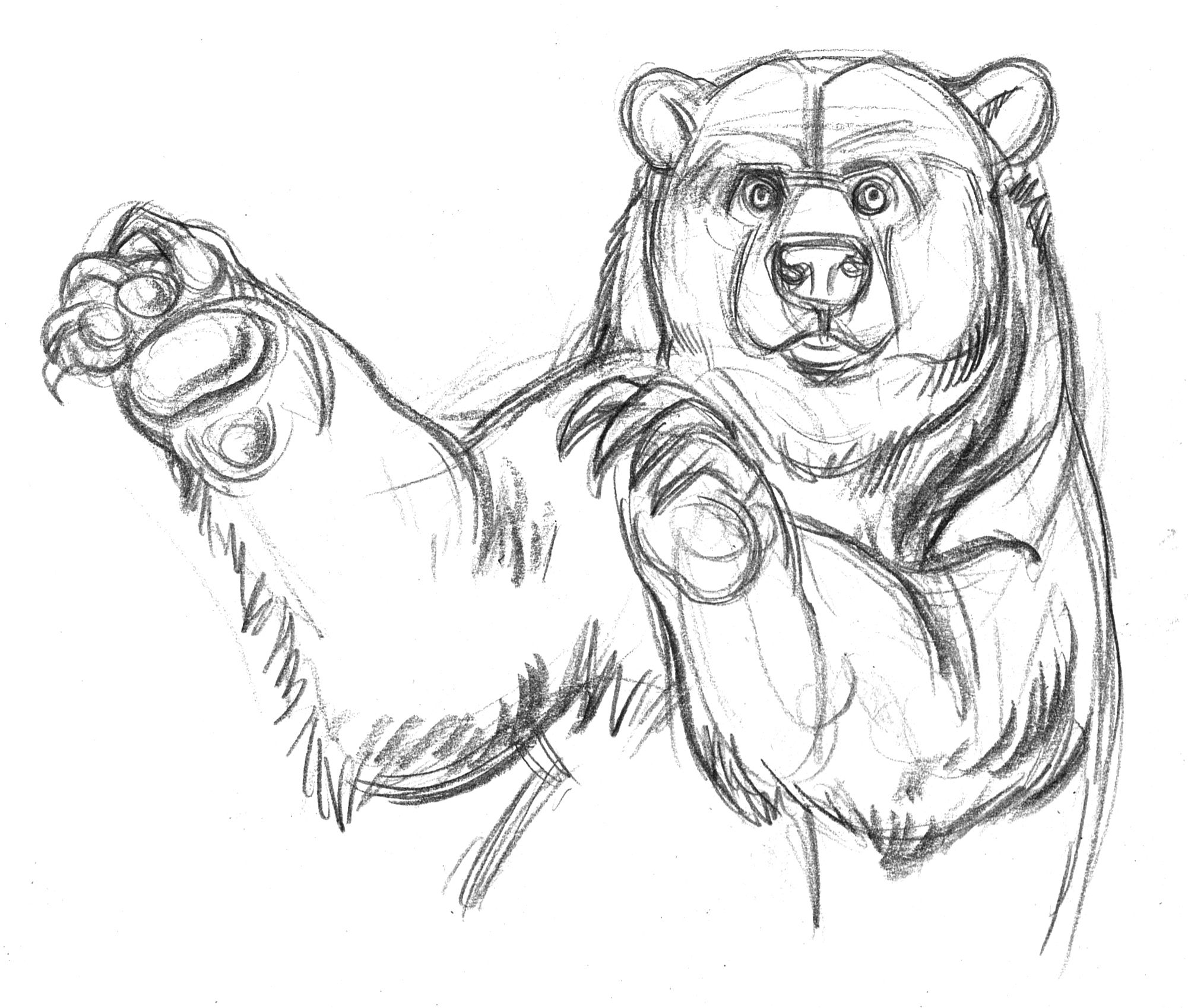 playful grizzly bear drawn in pencil at zoo gary geraths