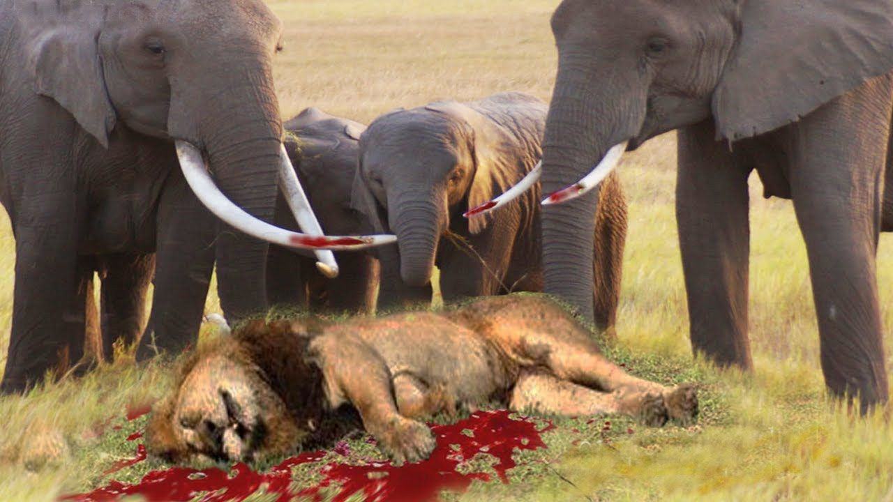 Lion Attacks elephant, Eagle vs Wolf Real Fight - When Wild Animals ...