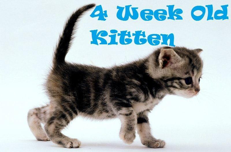 How To Raise And Care For 4 Week Old Kitten Kitten Kitten Care Kitten Names Girl