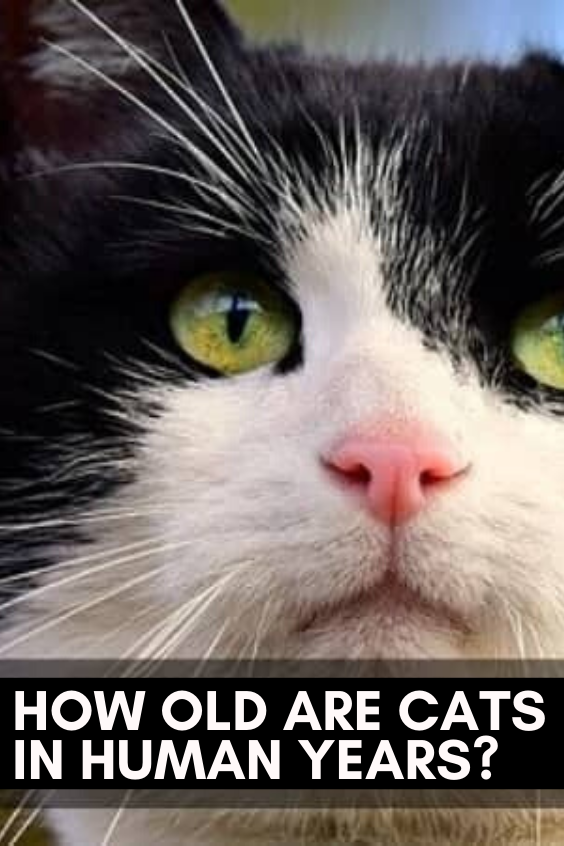 What S My Age How Old Are Cats In Human Years In 2020 Cats Beautiful Cats Pictures Cute Cat Names