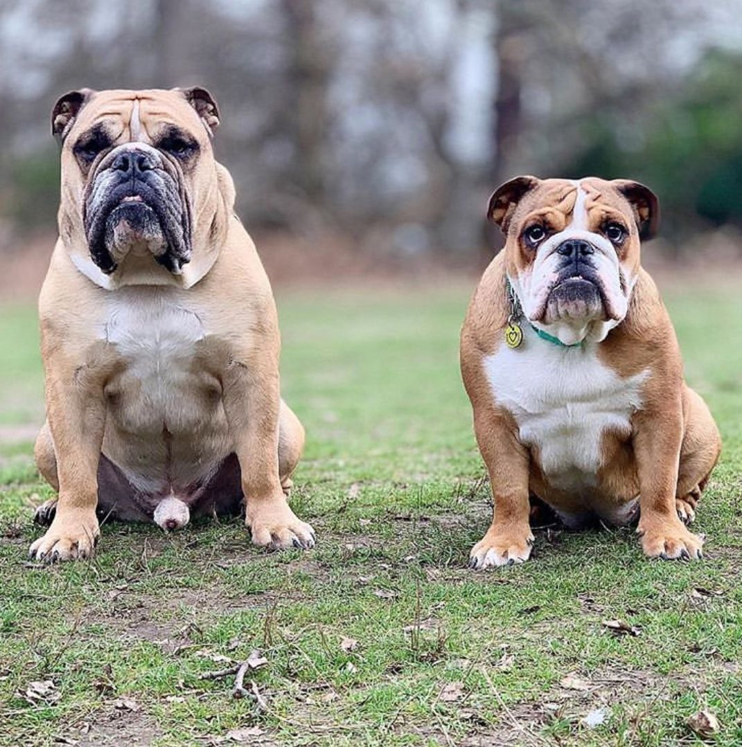 Pin By Luz Ramirez On Bulldogs Ingles Friends In Love Bulldog English Bulldog