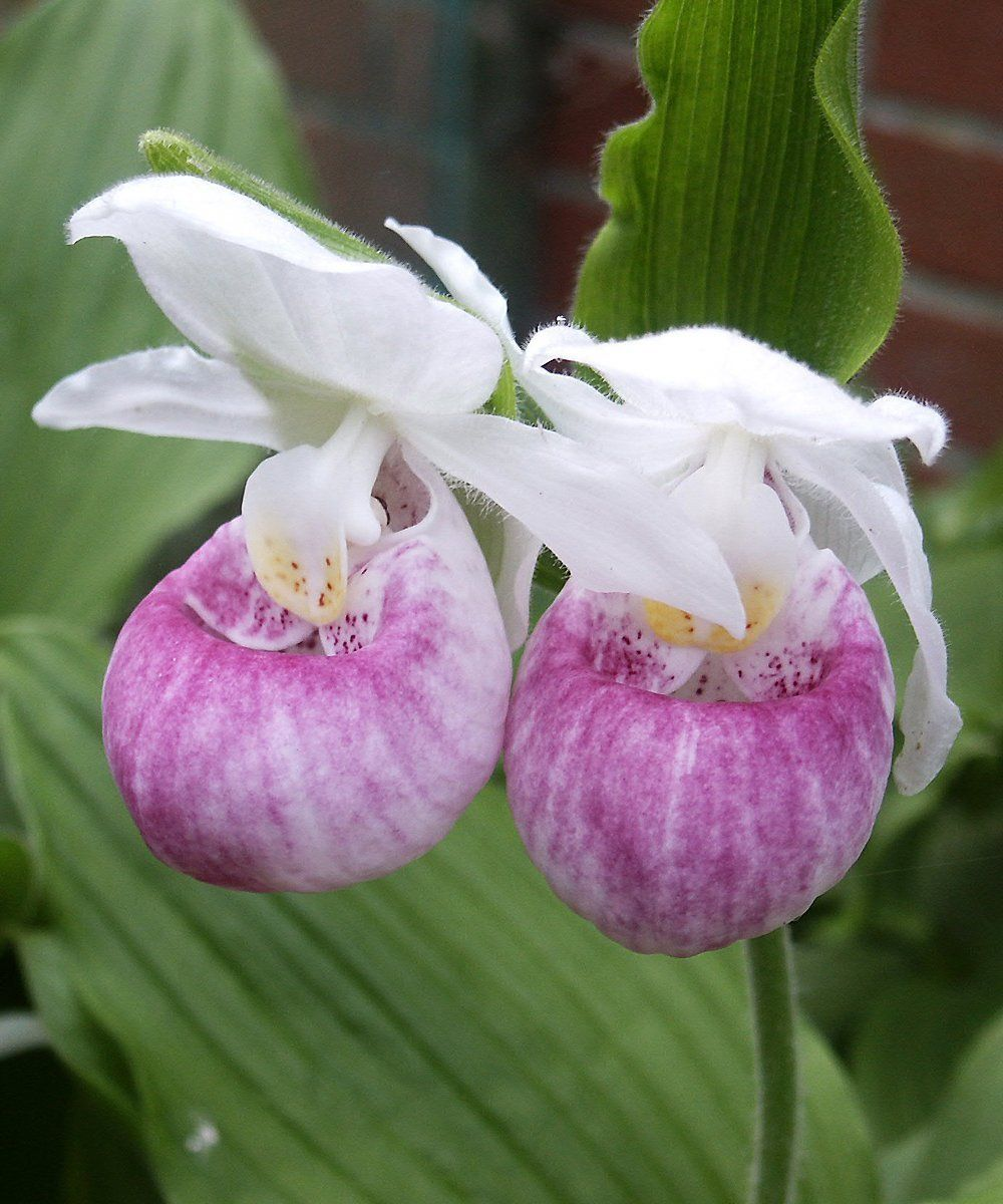 garten orchidee cypripedium reginae rosa freiland. Black Bedroom Furniture Sets. Home Design Ideas