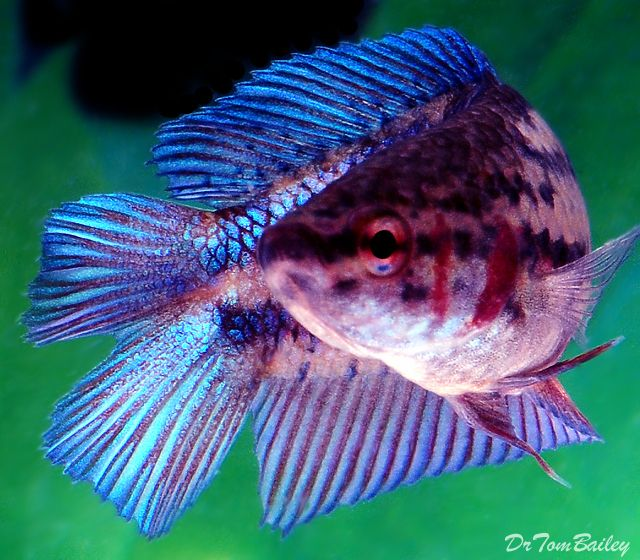 Top 35 beautiful types of betta fish with amazing pictures aquariums sciox Image collections