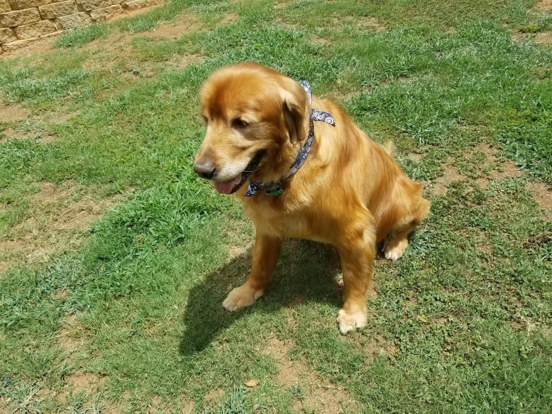 Meet Scruffy An Adoptable Golden Retriever Looking For A Forever