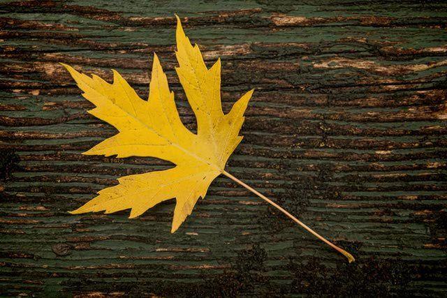 Understanding Lobed Leaves Tree Identification Tree Leaves Tree