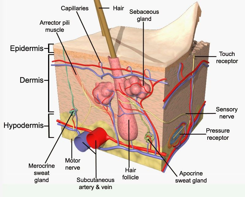 Integumentary System Diagram Labeled Auto Transformer Starter Wiring Human Animal Anatomy And Physiology Diagrams