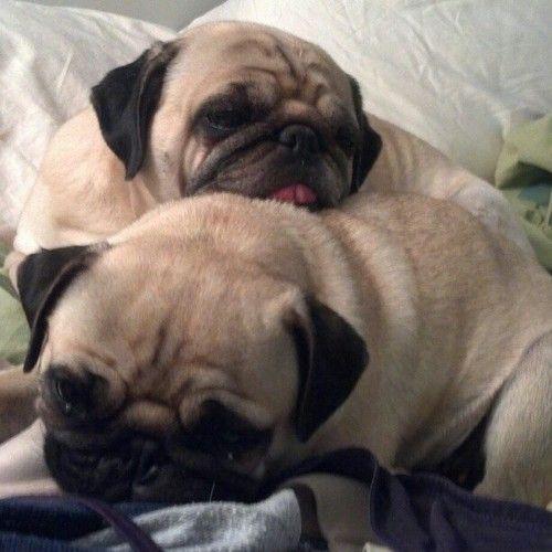 Snuggly pugs (SR)