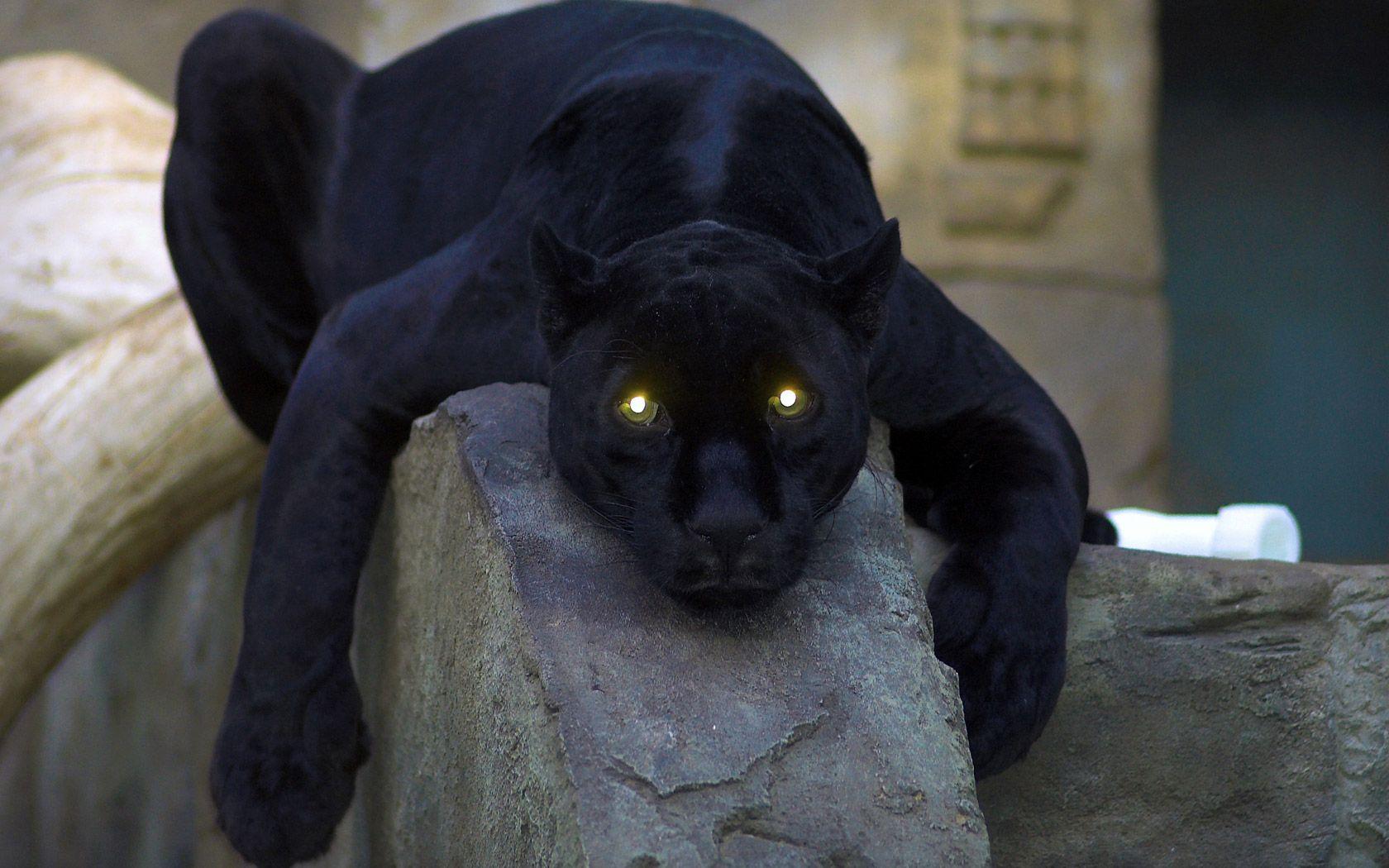 pantera nera con cucciolo   animali   Pinterest   Searching