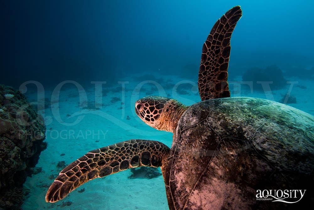 Green #turtle on the #southerngreatbarrierreef on #scuba - Checkout my #gallery #scubadiving #turtles #turtlesofinstagram #paditv #padi #natgeo #natgeotravelpic #dive #nikon #nikond800 #underwater #instadive #diveforlife #diverslife #eatsleepscuba #aquosity #nature #oceans #underwaterphotography #uwphotography #uwphoto #sealife #greatbarrierreef #animals #visitqueensland #tourismaustralia by aquosity http://ift.tt/1UokkV2