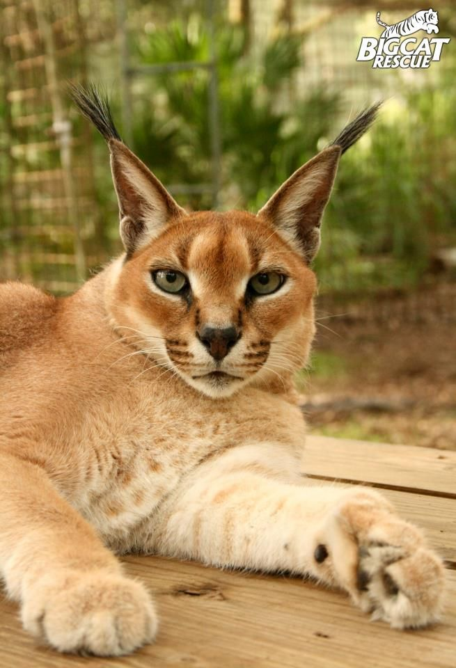 Rose A Rescued Caracal Living At Big Cat Rescue In Tampa Fl