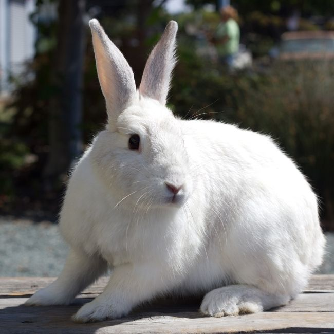 A Snow White Bunny From The Hayward Animal Shelter Animals