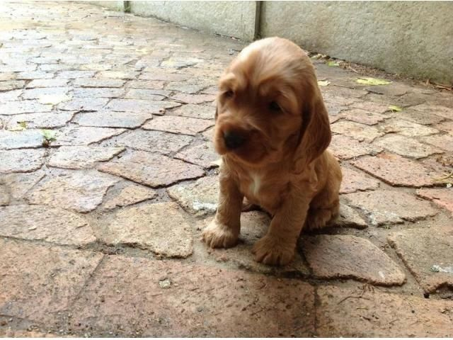 Cocker Spaniel Puppies Two Black And Two Golden Brown Somerset