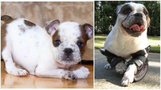 Prosthetic Blades Help Deformed Bulldog Puppy Walk Again Bulldog