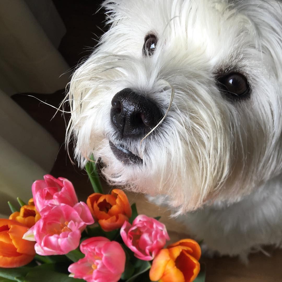Westie Lola On Instagram Happy Sunday Westielola