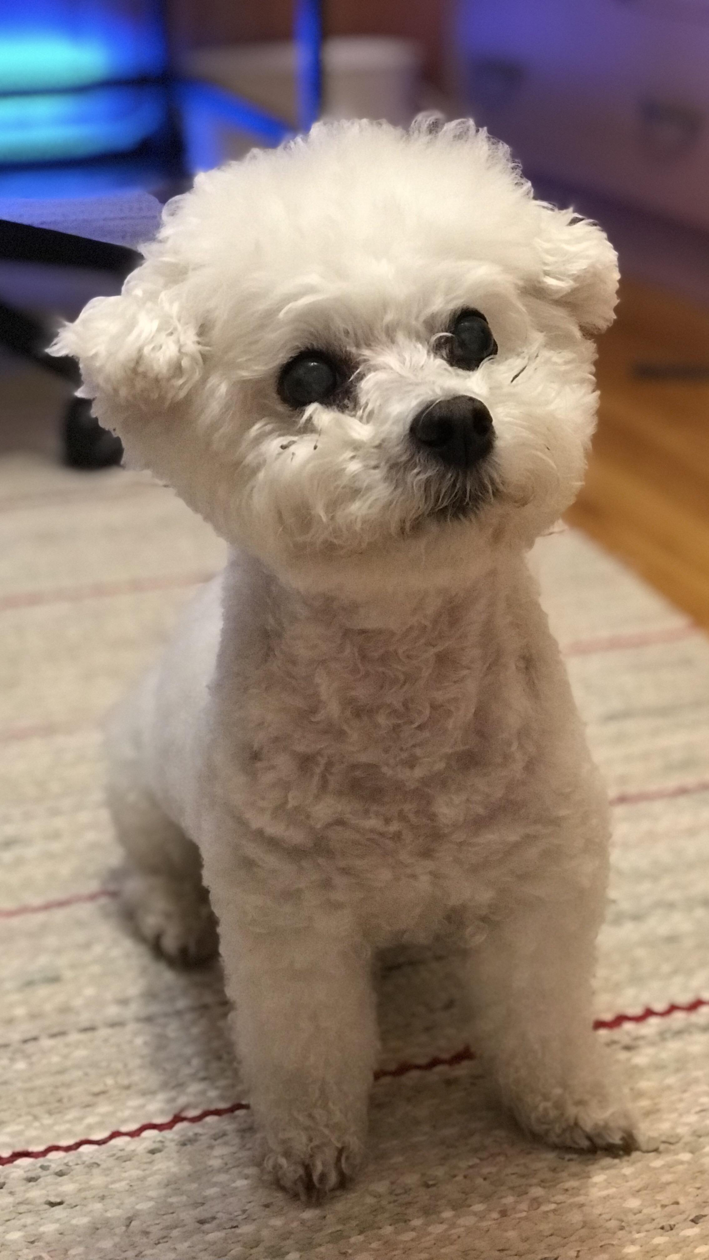 My 14 Year Old Bichon Frisehttps I Redd It El30auy7q5k01 Jpg Bichon Frise Boxer Dogs Pitbull Puppies